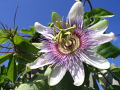 Passion_flower_005